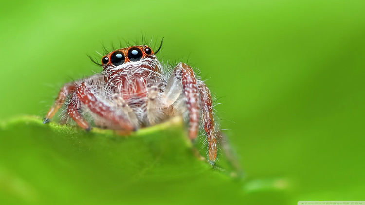 jumping_spider_green_background-wallpaper-1920x1080.jpg
